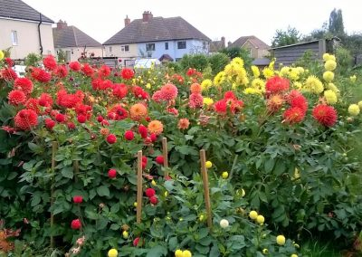 A close up photo of red, orange and yellow dahlias growing in the allotments